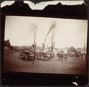 British Indian Army soldiers leaning pack of burros through field, three leafless trees in middle, buildings in distance