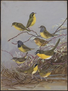 Plate 86: Kentucky Warbler, Connecticut Warbler, Mourning Warbler, Yellow-breaster Chat, Maryland Yellow-throat