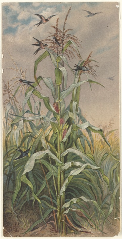 Among the Indian Corn