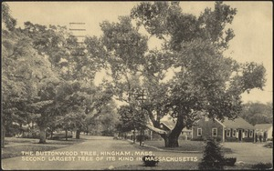The Buttonwood Tree Hingham, Mass. Second largest tree of its kind in Massachusetts