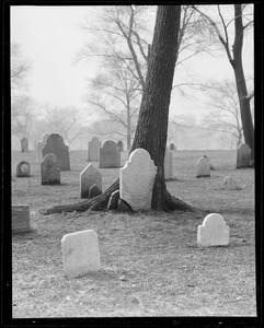 Tree grows around gravestone at Central Burial Ground on Common