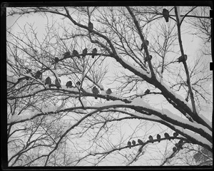 Pigeons in Common take to the trees during snow storm