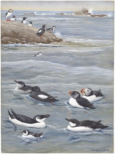 Panel 3: Black Guillemot, Puffin, Razor-billed Auk, Dovekie, Brunnich's Murre