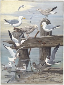 Panel 6: Herring Gull, Ring-billed Gull, Sabine's Gull, Bonaparte's Gull, Laughing Gull