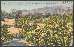 Beautiful cactus scene showing the nopal and cholla in full bloom. Ocotillo in background