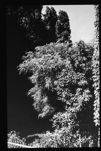 Arboreal silhouettes in St. John's Forest Garden, July 1954