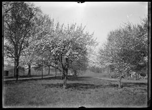 Pear tree and crab apple