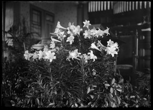 Easter lillies in church