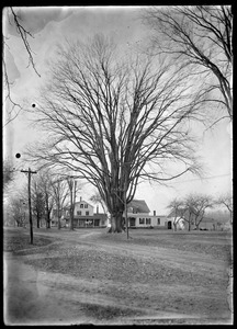 Great elm West from Main St. Harp Agawam