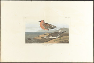 Red-breasted sandpiper