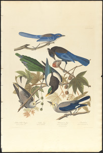 1. Yellow-billed magpie. 2. Stellers jay. 3. Ultramarine jay. 4, 5. Clark's crow
