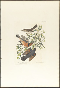 1. Mountain mocking bird, male. 2. 3. Varied thrush, male & female