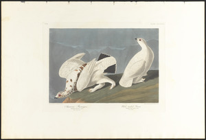 American ptarmigan. White-tailed grous