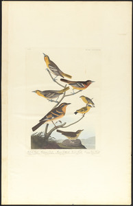 Bullock's oriole. Baltimore oriole. Mexican goldfinch. Varied thrush. Common water thrush