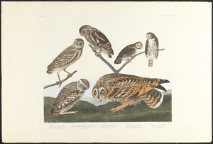 Burrowing owl. Large-headed burrowing owl. Little night owl. Columbian owl. Short-eared owl