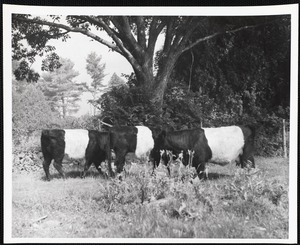 Belted galloways. Camden-Rockport, ME