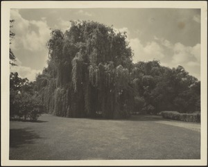 View of the grounds and willow trees