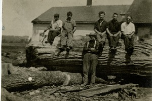 Harvesting lumber from fallen Great Elm