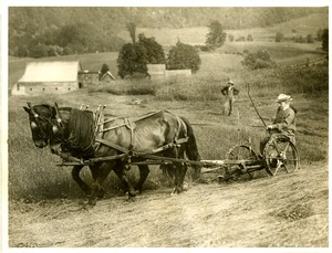 Calvin Coolidge cutting hay