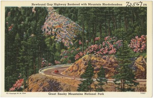 Newfound Gap Highway bordered with Mountain Rhododendron, Great Smoky Mountains National Park