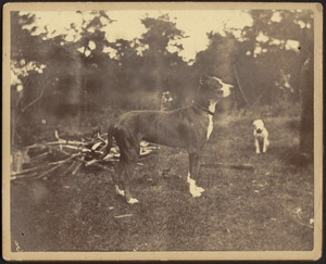 Great Dane and small white dog outdoors; pile of branches and trees in background