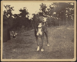Great Dane standing on grass outdoors; woman with small black and white dog on far left