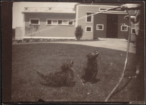 Two black Scottish Terriers on lawn; person on far right