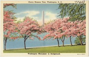 Cherry Blossom time, Washington, D. C., Washington Monument in background.