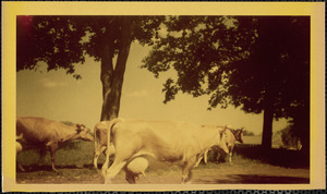 A small herd of light-colored cows ready to be milked walks down a dirt road or path lined by several tall trees