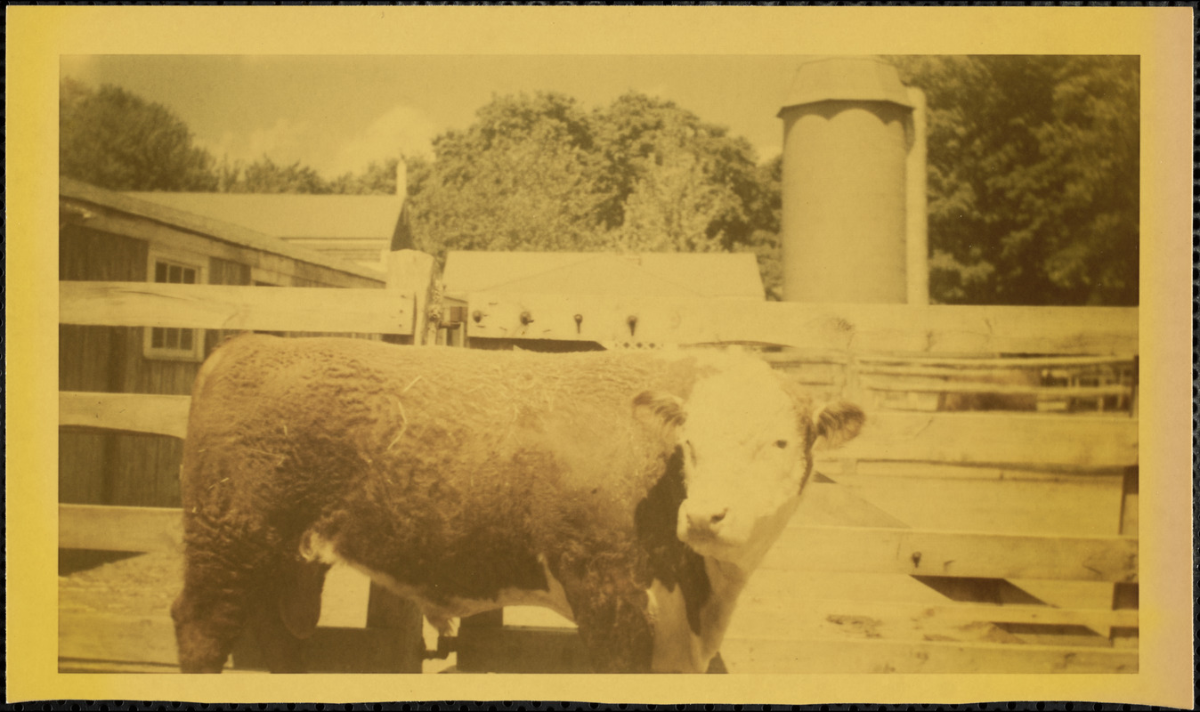 Brown and white livestock stands in front of a wooden fence