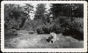 A light-colored dog stands on a large, flat rock