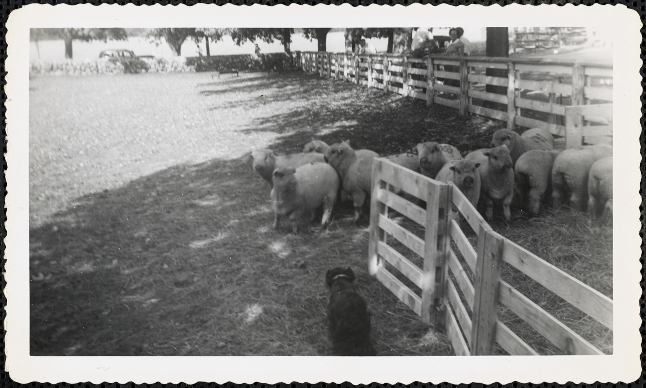 A flock of sheep cluster together in a large field or paddock and a dark-colored dog stands facing the sheep