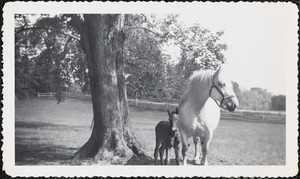 A large, light-colored horse and the mare's dark-colored foal stand under a large tree in leaf in an open field or paddock