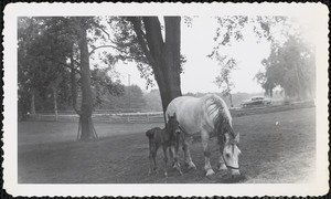 A large, light-colored horse grazes beneath a tree in a field or paddock and a dark-colored foal stands next to the mare