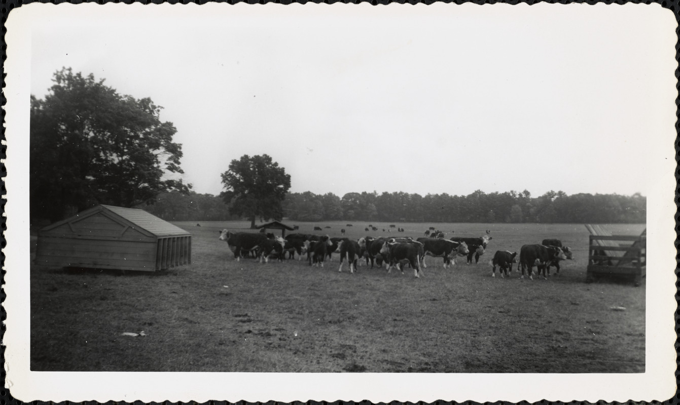 Cattle in a large field