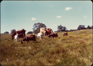 Gt. Pasture, 1977 July, Guernseys & goats