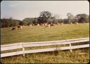 Guernseys on Patch Field