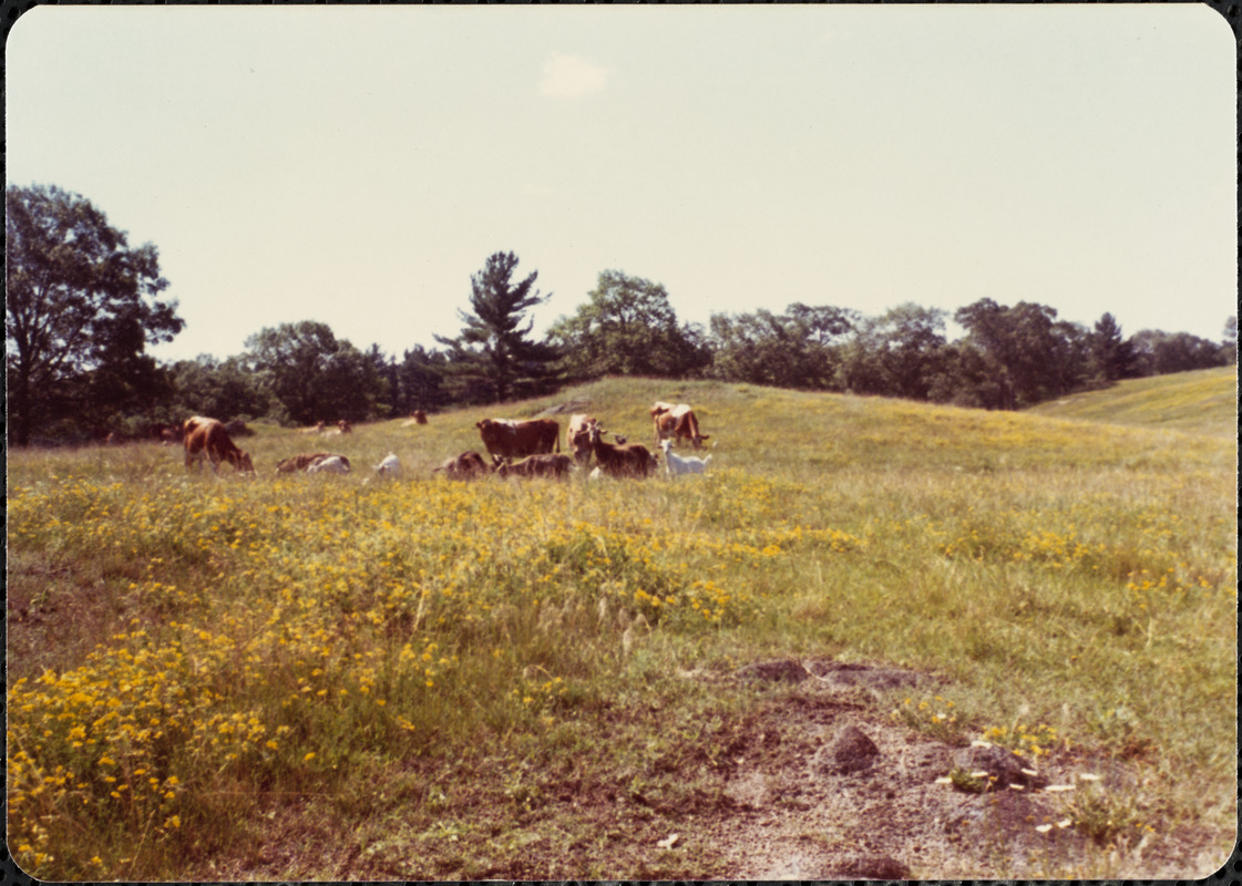 Guernsey cows and goats grazing in the Great Pasture