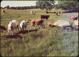 Guernseys and Beefolo, Great Pasture, summer 1976, Appleton Farms