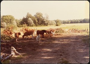 Cows, horse, and goat standing in shade