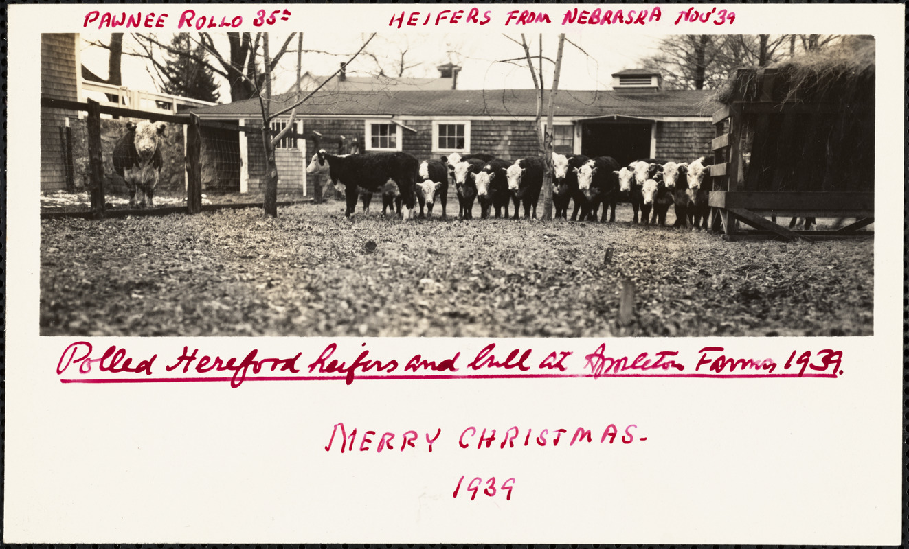 Polled Hereford heifers and bull at Appleton Farms 1939
