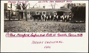 Polled Hereford heifers and bull at Appleton Farms 1939 Merry Christmas- 1939