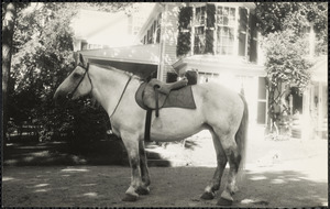 A large, light-colored horse, possibly a Percheron, wearing an English saddle