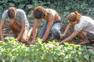 """Tufts University """"Roots & Growth"""" students work in campus vegetable garden, Medford"""