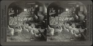 White leghorn hens on egg farm, Bound Brook, N.J.