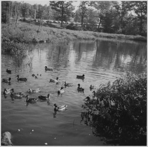 Bentley duck pond in 1971
