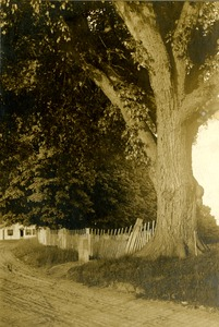Washington Elm