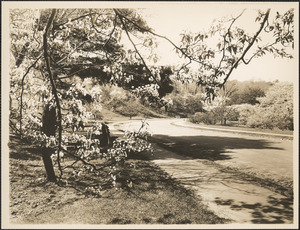Arnold Arboretum, view of blossoms from gate