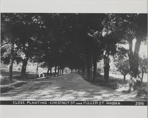Newton Forestry Department Photographs, 1908-1918 - Close Planting - Chestnut Street Near Fuller Street, Waban -