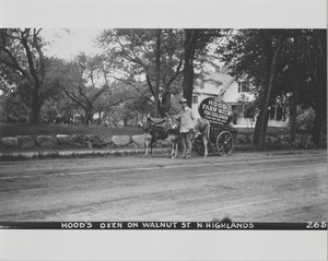 Newton Forestry Department Photographs, 1908-1918 - Hood's Oxen on Walnut Street - Newton Highlands -